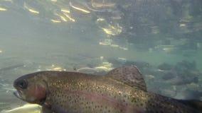 Una industria pesquera para la trucha almacen de metraje de vídeo