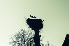 Una jerarquía de cigüeñas en un árbol en el pueblo fotos de archivo