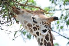 Una jirafa Fotos de archivo libres de regalías