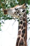 Una jirafa Imagen de archivo