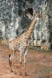 Una jirafa Fotos de archivo