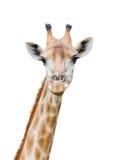 Una jirafa aislada en el fondo blanco Imágenes de archivo libres de regalías