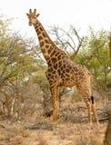 Una jirafa alimenta desde árboles en un remiendo seco en el parque nacional de Mokala en Suráfrica Imágenes de archivo libres de regalías