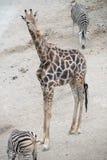 Una jirafa de la madre Fotografía de archivo