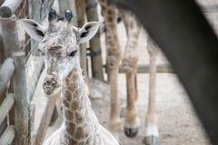 Una jirafa del bebé Imagen de archivo