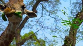 Una jirafa en un parque del safari come las hojas del árbol almacen de video
