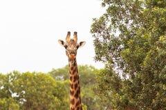 Una jirafa grande por el árbol La cabeza es primer Kenia, Masai Mara imagen de archivo