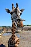 Una jirafa hermosa grande se coloca en el sol en el parque zoológico, verano Foto de archivo