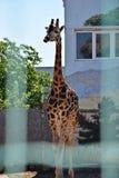 Una jirafa hermosa grande se coloca en el sol en el parque zoológico, verano Imagen de archivo