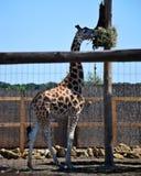 Una jirafa hermosa grande se coloca en el sol en el parque zoológico, verano Imágenes de archivo libres de regalías