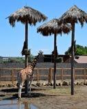 Una jirafa hermosa grande se coloca en el sol en el parque zoológico, verano Fotos de archivo libres de regalías