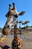Una jirafa hermosa grande se coloca en el sol en el parque zoológico, verano Imagenes de archivo