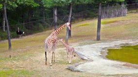 Una jirafa joven y su madre almacen de metraje de vídeo