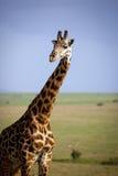 Una jirafa masculina hermosa en primero plano con vista de la sabana en fondo Fotografía de archivo
