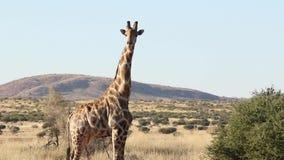 Una jirafa que camina a través de la vegetación almacen de video