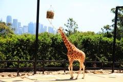 Una jirafa que come las hojas imágenes de archivo libres de regalías