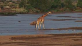 Una jirafa que cruza un río seco almacen de video