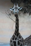 Una jirafa que mira al fotógrafo Imagen de archivo