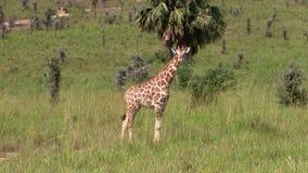 Una jirafa que se coloca en un llano de la hierba almacen de video