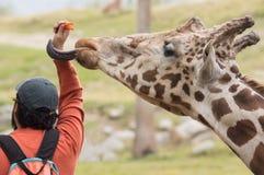 Una jirafa que se pega la lengua hacia fuera y que alcanza para las zanahorias Fotografía de archivo