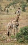 Una jirafa solitaria que se coloca al lado de un arbusto Foto de archivo libre de regalías