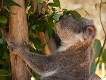 Una koala che mangia le foglie di Eucayptus immagini stock libere da diritti