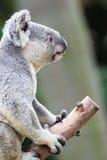 Koala del vuelo Fotografía de archivo libre de regalías