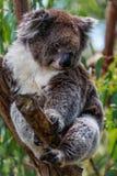 Una koala linda Foto de archivo