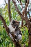 Una koala linda Imagenes de archivo