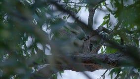 Una koala linda el dormir metrajes