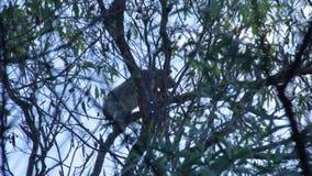 Una koala que sube una rama de árbol metrajes