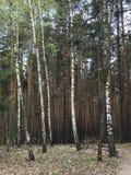 Una línea de árboles de abedul hermosos de la primavera delante de un bosque floreciente Imagen de archivo libre de regalías