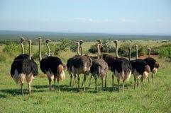 Una línea de avestruces Imágenes de archivo libres de regalías