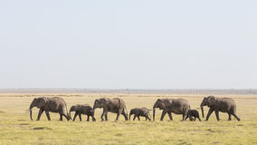 Una línea de elefantes africanos que caminan con Amboseli en Kenia Fotografía de archivo