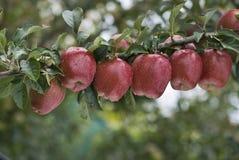 Una línea de manzanas Foto de archivo libre de regalías