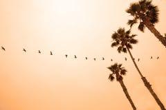 Una línea de pelícanos que vuelan en la puesta del sol Imagen de archivo libre de regalías