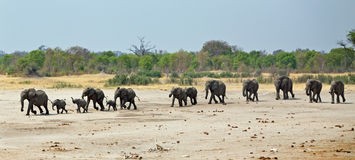Una línea recta de elefantes que caminan hacia un waterhole Fotos de archivo libres de regalías