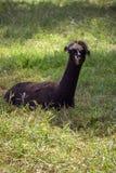 Una lama adulta nella tonalità Fotografia Stock