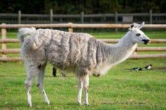 Una lama che si leva in piedi in un'azienda agricola erbosa Fotografia Stock Libera da Diritti