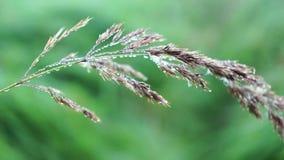 Una lama di erba nella rugiada, macro video video d archivio