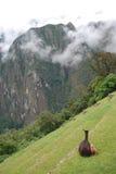 Una lama ed il suo vitello in Machu Pichu Fotografia Stock Libera da Diritti
