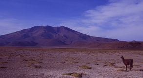 Una lama nel deserto del lago di sale della Bolivia fotografia stock