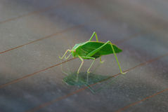 Una langosta verde Fotografía de archivo libre de regalías
