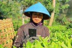Una lavoratrice in una piantagione di tè immagine stock libera da diritti