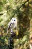 Una lechuza común que se sienta en un tocón de árbol Imagen de archivo
