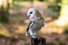 Una lechuza común que se sienta en un tocón de árbol Fotos de archivo libres de regalías