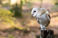 Una lechuza común que se sienta en un tocón de árbol Fotografía de archivo