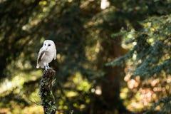 Una lechuza común que se sienta en un tocón de árbol Imagenes de archivo