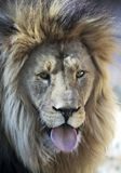 Una lengua africana de Lion Male Sticking Out His Imagen de archivo