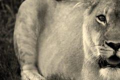 Una leona acecha su presa Foto de archivo libre de regalías
